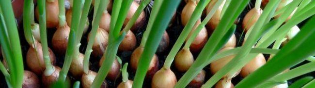 Агротехніка вирощування цибулі