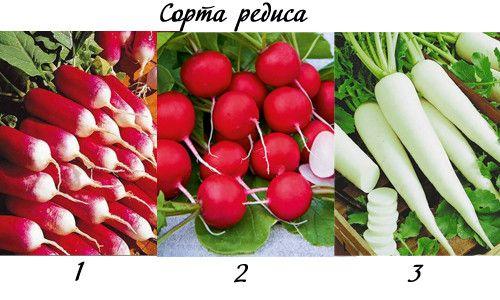 Фото - Агротехніка вирощування редиски