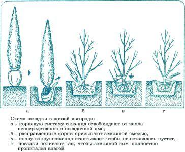 Барбарис: вирощуємо огорожа