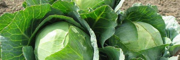 Фото - Білокачанна капуста: агротехніка вирощування