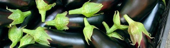 Фото - Багатий урожай баклажанів - це нескладно