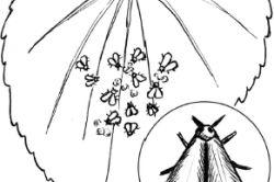 Хвороби від білокрилок парникових