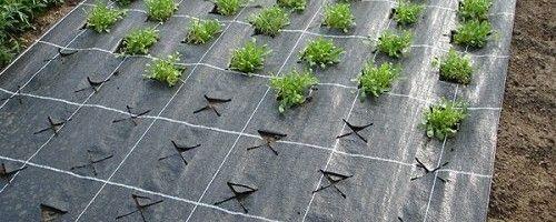 Фото - Чим добре вирощування полуниці на плівці?
