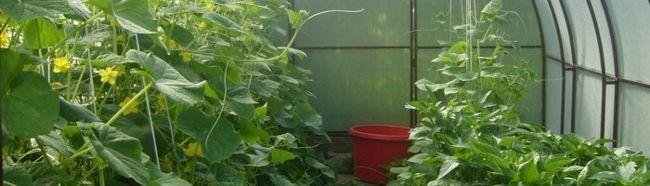 Фото - Чим і як удобрювати огірки в теплиці?