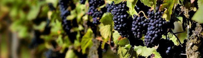 Фото - Живцювання винограду