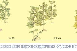 Фото - Що потрібно для отримання хорошого врожаю огірків?