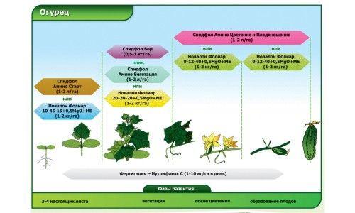 Схема фаз розвитку огірка