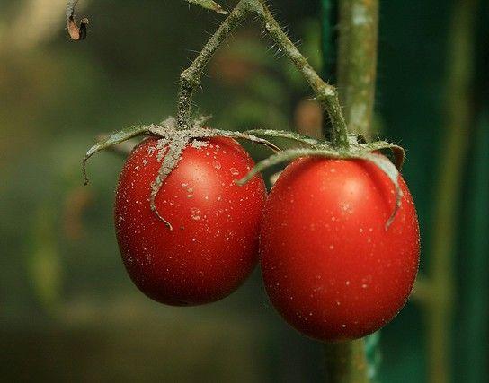 Фото - Що потрібно помідорів в теплиці?