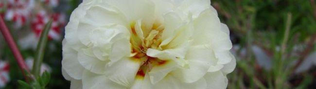 Фото - Квіти портулак - вирощування