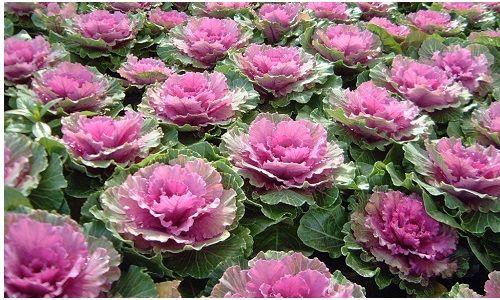 Фото - Декоративна капуста: правила посадки і вирощування