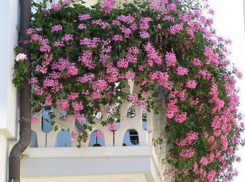 Фото - Декоративні рослини, що в'ються для балкона