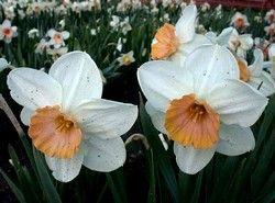 фен шуй квітка півонії