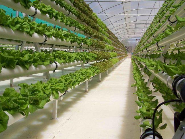 Фото - Гідропоніка - ідеальний спосіб вирощування для посушливих регіонів