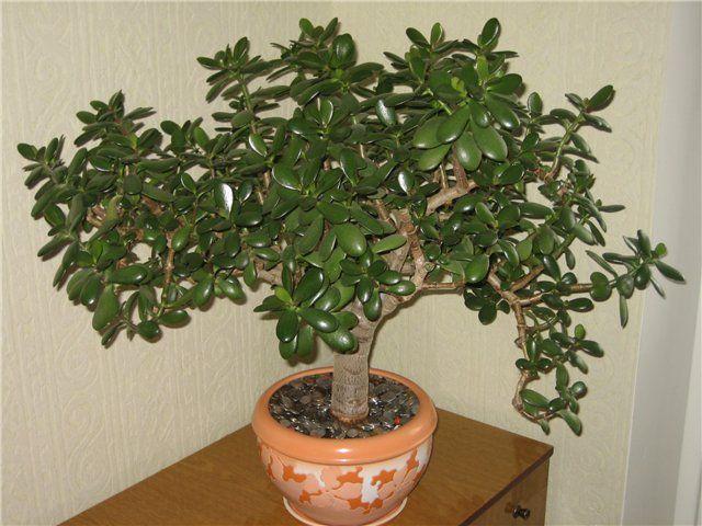 Фото - Характеристика миртового дерева по науці фен шуй