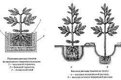 Схема посадки розсади томатів в грунт