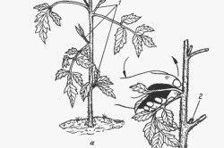 Схема пасинкування томата