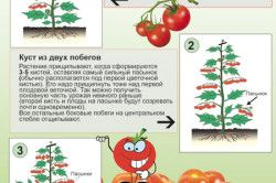 Етапи формування кущів томатів