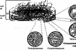 Схема росту цвілевих грибів