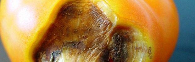 Як боротися зі шкідниками томатів у теплиці