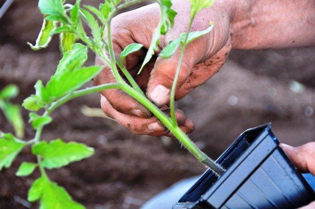 Фото - Як грамотно підгодовувати томати?