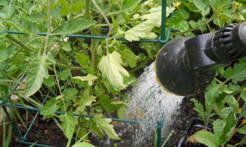 Фото - Як на своєму городі виростити солодкі помідори