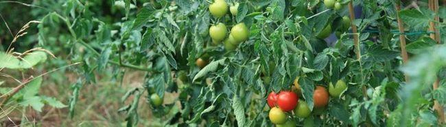 Фото - Як пасинкують кущі томатів?
