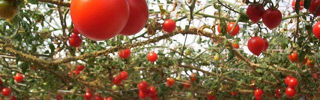 Фото - Як пересадити розсаду помідорів в теплицю?