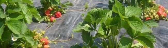 Фото - Як підготувати грядку для посадки полуниці?