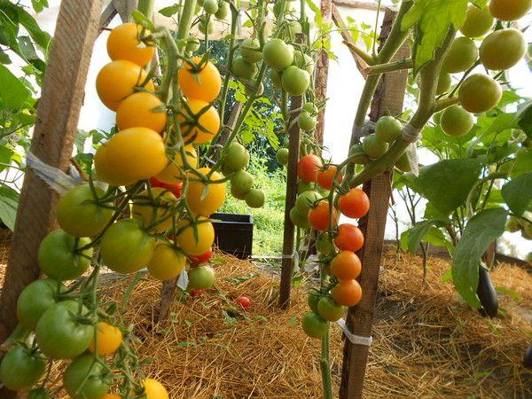 Фото - Як отримати багатий урожай в теплицях?