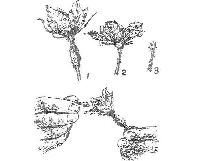 Фото - Як робиться запилення огірків в теплиці?