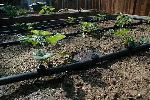 Фото - Крапельний полив для рясного врожаю полуниці