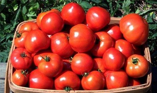 урожай помідорів