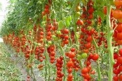 урожай томатів на гідропоніці