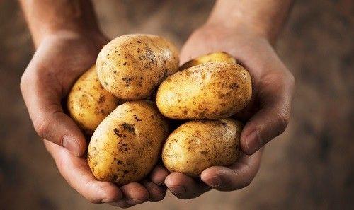 Фото - Як отримати відмінний урожай картоплі