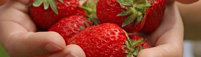 Як правильно і якісно виростити полуницю в закритій теплиці