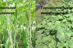 Фото - Як правильно посадити огірки?