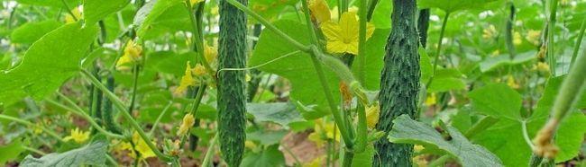Фото - Як правильно вирощувати і обробляти огірки
