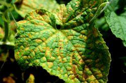 Фото - Як правильно вирощувати огірки в теплиці