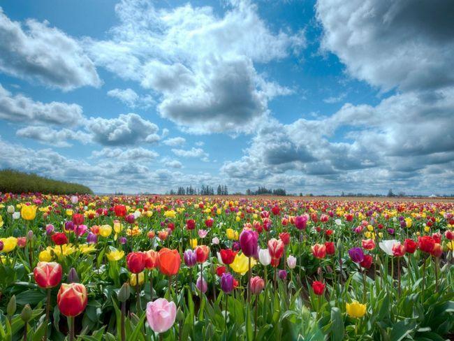 Фото - Як правильно вирощувати тюльпани і доглядати за ними