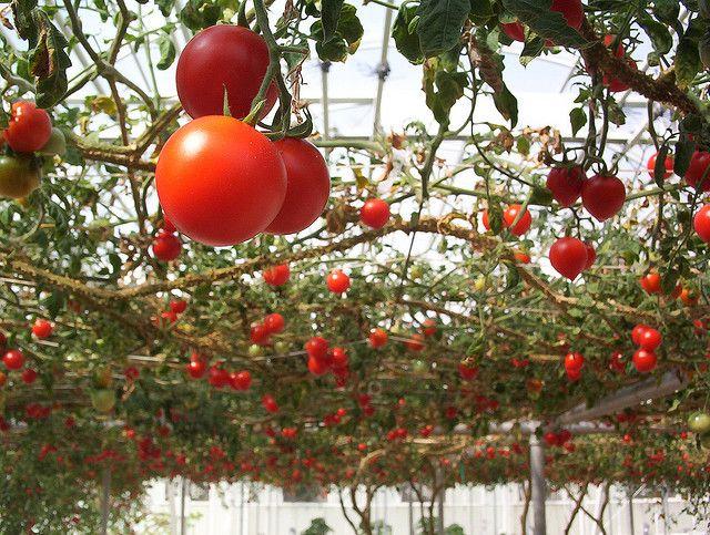 Фото - Як правильно вирощувати високорослі томати?