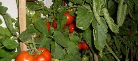 Фото - Як правильно виростити помідори