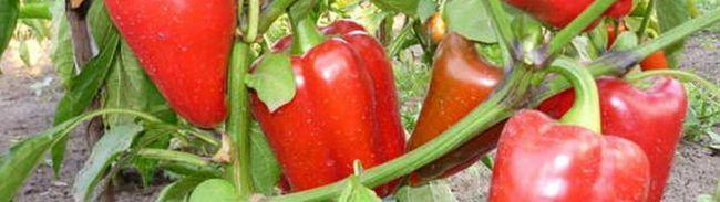 Фото - Як правильно виростити смачний перець