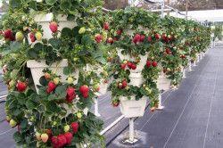 Вертікалние грядки для полуниці