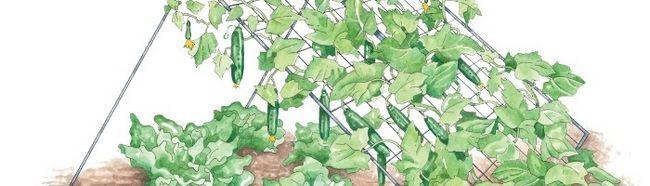 Фото - Як зробити на ділянці шпалеру під огірки?