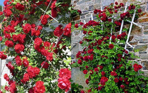 Фото - Як зробити шпалеру для плетистой троянди