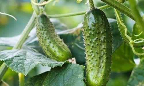 Плоди огірків