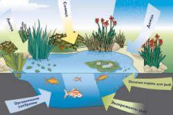 Своєчасна і правильна очищення ставка допоможе зберегти його сформовану екосистему.