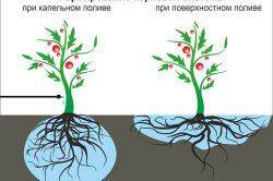 Порівняння формування рослини при краплинному і поверхневому поливі