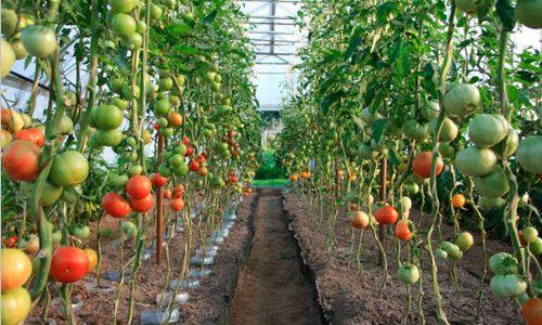 Фітофтора на помідорах