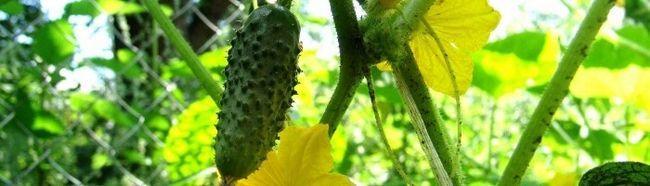 Фото - Як доглядати за тепличними огірками